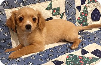 Dachshund/Papillon Mix Puppy for adoption in Santa Ana, California - Percy