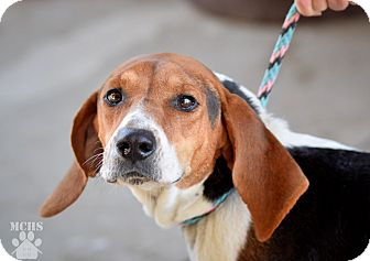Treeing Walker Coonhound Mix Dog for adoption in Martinsville, Indiana - Roxy