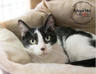 Domestic Shorthair Cat for adoption in Belton, Missouri - Nicolette