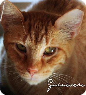 Domestic Shorthair Cat for adoption in McKinney, Texas - Guinevere