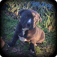 Adopt A Pet :: Mikey - Denver, NC