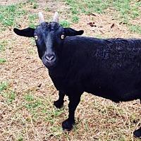 Adopt A Pet :: Carrie - Freeport, FL