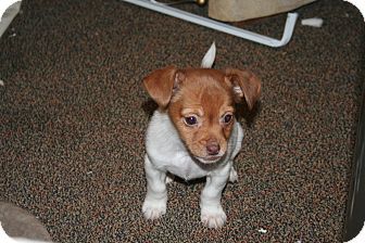 Beagle/Shih Tzu Mix Puppy for adoption in Westfield, Indiana - Ginger