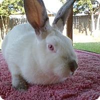 Adopt A Pet :: Pippa - Watauga, TX