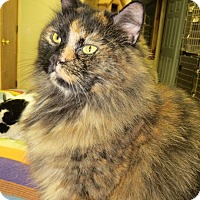 Domestic Longhair Cat for adoption in Beacon, New York - Janie