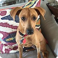 Adopt A Pet :: Bea - West Hartford, CT
