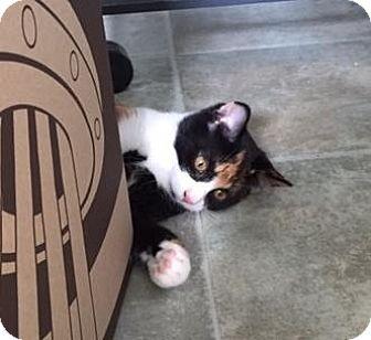 Domestic Shorthair Kitten for adoption in Spencer, New York - Wildflower