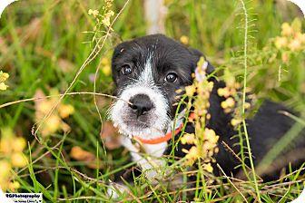 Schnauzer (Standard)/Welsh Terrier Mix Puppy for adoption in boston, Massachusetts - Bailey