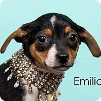 Adopt A Pet :: Emilia - Cincinnati, OH