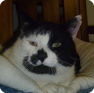 Domestic Shorthair Cat for adoption in Hamburg, New York - Chance