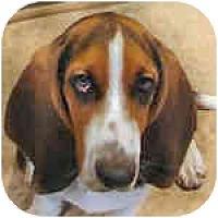 Adopt A Pet :: Balou - Phoenix, AZ