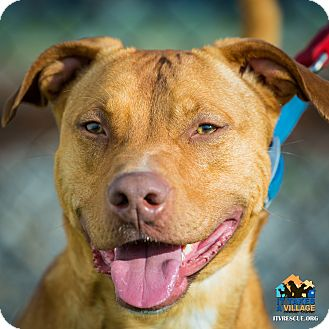 Pit Bull Terrier Mix Dog for adoption in Evansville, Indiana - Max