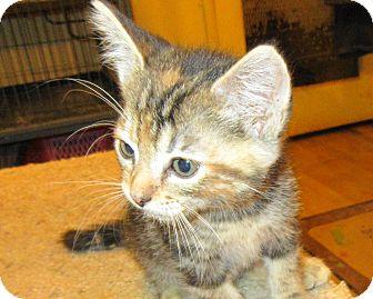 Domestic Shorthair Kitten for adoption in Palm Springs, California - Olivia