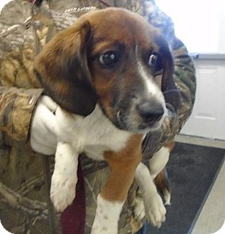 Beagle/Corgi Mix Puppy for adoption in Somerset, Pennsylvania - Simon