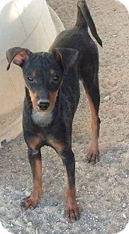 Miniature Pinscher Mix Puppy for adoption in Las Vegas, Nevada - Kiara's Kiddo