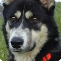 Adopt A Pet :: Lobo - what a sweet,calm boy!! - Houston, TX