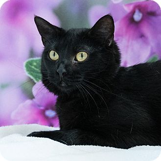 Domestic Shorthair Cat for adoption in Houston, Texas - Daria