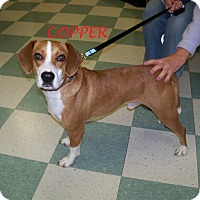Adopt A Pet :: COPPER - Ventnor City, NJ