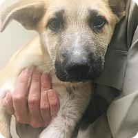 Adopt A Pet :: Azrail - New Braunfels, TX