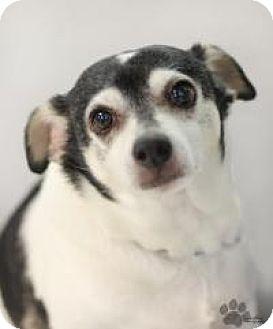Chihuahua Mix Dog for adoption in Yukon, Oklahoma - Brutus
