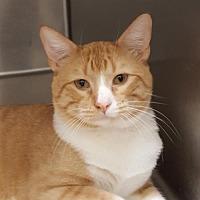 Adopt A Pet :: Marmalade - Lago Vista, TX
