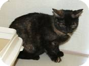 Domestic Shorthair Cat for adoption in West Dundee, Illinois - Allie
