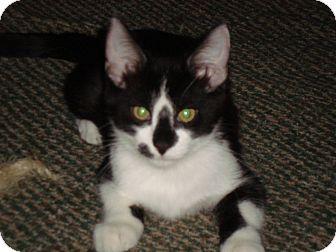 Domestic Shorthair Kitten for adoption in Chandler, Arizona - Gizmo