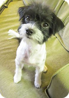 Terrier (Unknown Type, Small) Mix Dog for adoption in Scottsdale, Arizona - Tuffy