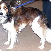 Adopt A Pet :: Shay(Kooiker breed) - Toronto/Etobicoke/GTA, ON
