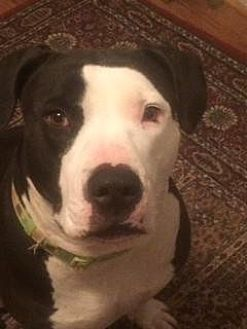 Pit Bull Terrier Dog for adoption in Spring Lake, New Jersey - Princess (Courtesy Post)
