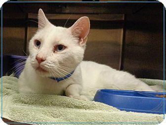 Domestic Shorthair Cat for adoption in Marietta, Georgia - ELVIS SEE ALSO TOM