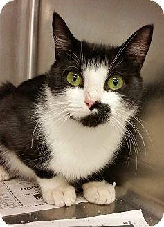 Domestic Shorthair Cat for adoption in Middlebury, Connecticut - Trixie