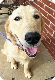 Golden Retriever Mix Puppy for adoption in BIRMINGHAM, Alabama - Carter