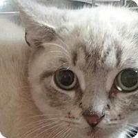Siamese Kitten for adoption in Devon, Pennsylvania - LA-Emmy READ LISTING CAREFULLY