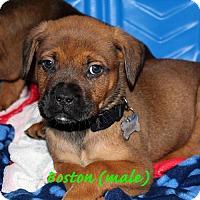 Adopt A Pet :: Boston - Alameda, CA
