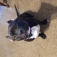 Adopt A Pet :: Annelisse - Colorado - Fulton, MO