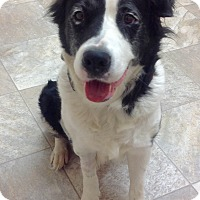 Adopt A Pet :: Roxie - Urbana, OH