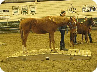 Quarterhorse for adoption in Sundre, Alberta - Captain