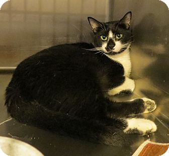 Domestic Shorthair Cat for adoption in Geneseo, Illinois - Howser