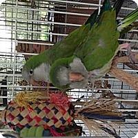Parakeet - Quaker for adoption in Punta Gorda, Florida - Patti