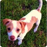 Adopt A Pet :: Ollie in Houston - Houston, TX