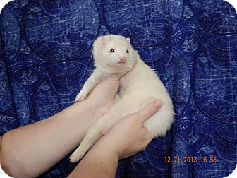 Ferret for adoption in Navarre, Florida - Solar