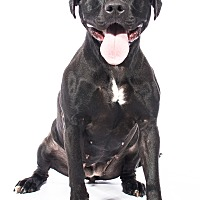 American Staffordshire Terrier/Bull Terrier Mix Dog for adoption in Livonia, Michigan - Nana