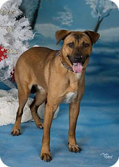 Black Mouth Cur/Shepherd (Unknown Type) Mix Dog for adoption in Chaska, Minnesota - Shadow