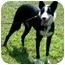 Photo 4 - Border Collie Dog for adoption in Tiffin, Ohio - Rachel - AGILITY!
