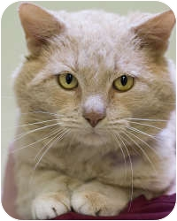 Domestic Shorthair Cat for adoption in Chicago, Illinois - Sweet Baby Ray-Ray