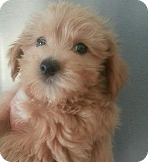 Maltese/Yorkie, Yorkshire Terrier Mix Puppy for adoption in Silver Lake, Wisconsin - COOKIE
