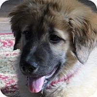 Adopt A Pet :: Artemis - New Canaan, CT