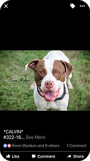 American Pit Bull Terrier/Boxer Mix Dog for adoption in Zanesville, Ohio - Calvin @ Animal Shelter