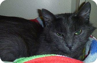 Domestic Longhair Cat for adoption in Hamburg, New York - Earl Gray